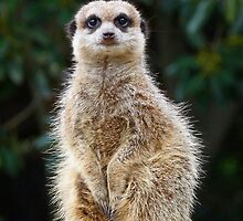 Meerkat Junior On Sentry Duty by Margaret Saheed