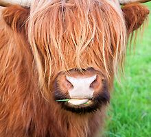 Moo by Adrian Alford Photography