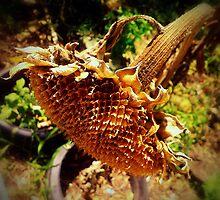 Sunflower Seedless 1 by James Aiken