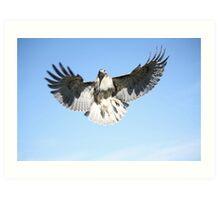 Red-tailed Hawk Art Print