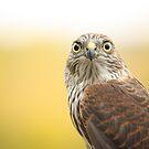 Young Sharp-shinned Hawk by Jean Martin