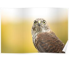 Young Sharp-shinned Hawk Poster