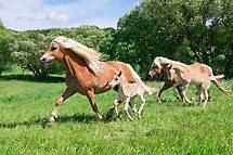Running together, Haflinger with foals by Katho Menden
