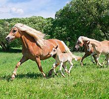 Running together, Haflinger with foals by Katho Menden