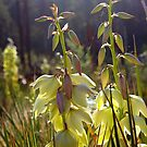 Yucca at dawn by Christine Ford