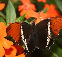 Black and Brown Butterfly by rhamm