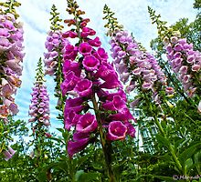 Foxgloves!! by hannahsview