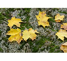 Yellow leaves on a boulder Photographic Print