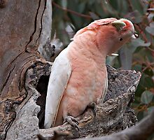 Major Mitchell's Cockatoo (Pink Cockatoo) by Robert Elliott