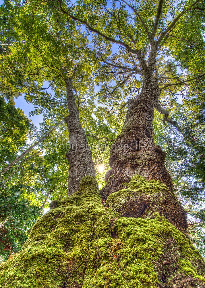 Garry Oak at Sidney Spit by toby snelgrove  IPA