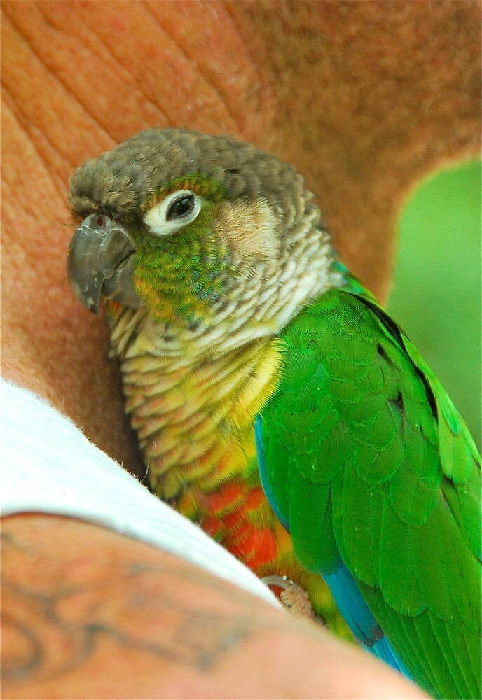 Green Cheeked Conure by Penny Smith