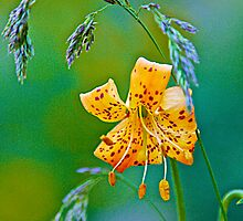 Leopard Lily and Grasses by John Butler