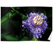 Passiflora Incarnata Poster