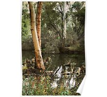 Eucalyptus at Kennington Resevoir By Lorraine McCarthy Poster