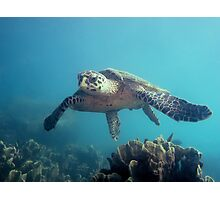 Flying Hawksbill Photographic Print
