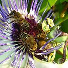 Passion Flower and Honey Bees Collecting Pollen by taiche