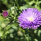 Purple Aster and Bud by Linda  Makiej