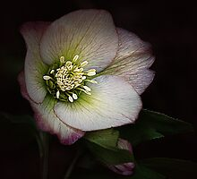 Hellebore Glory by edesigns14
