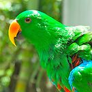 Eclectus Parrot by peasticks