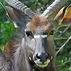 A Male Nyala up close! by jozi1