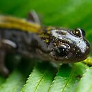 Salamander Up Close by toby snelgrove  IPA