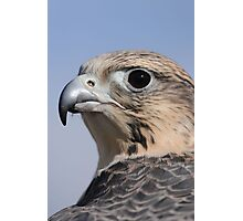 """""""Milly"""" - Saker falcon Photographic Print"""