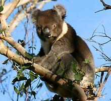 Koala, Great Ocean Road, Victoria - Australia by Nicola Barnard