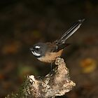 Fantail - New Zealand by Nicola Barnard