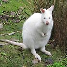 Albino Wallaby by Nicola Barnard