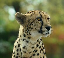 The Beautiful Cheetah  by Elaine  Manley
