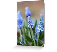 Blue Grape Hyacinths Greeting Card