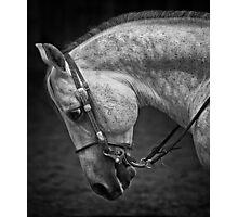 A grey horse head study Photographic Print