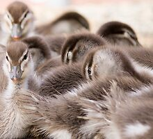 Ducklings by Sarah Guiton
