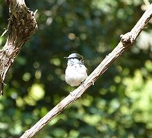 Sweet Superb Fairy Wren Maturing into Dominant Male. by Rita Blom