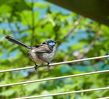 'SHOWING YOU A SIDE VIEW!'  Superbe Blue Fairy Wren. by Rita Blom