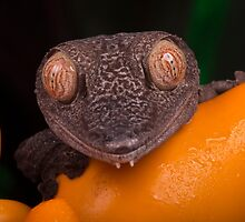 Leaf tailed gecko posing by Angi Wallace