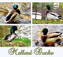 Mallard Ducks by ©The Creative  Minds