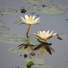 Lily White Reflection by TracyD
