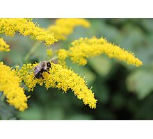 Canadian Bee Photographic Print