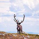Reindeer by Michael Brewer
