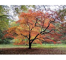 Autumnal Tree - UK Photographic Print