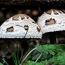 Not Shaggy Mane by Heather Haderly