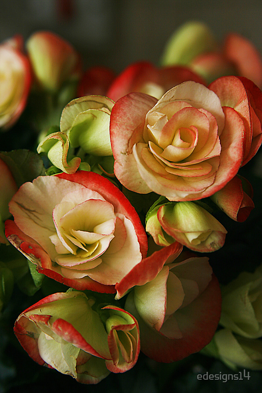 Begonias On Fire by edesigns14