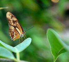 Dryas iulia  / Oranje passiebloemvlinder by MaartenMR