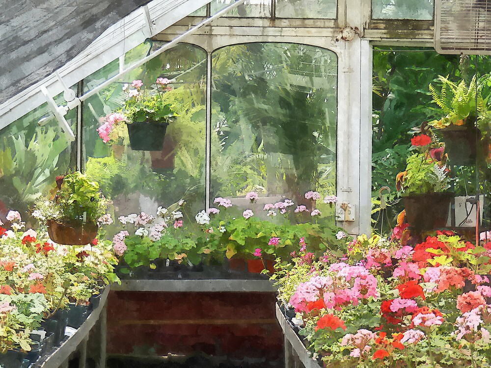 Geraniums in Greenhouse by Susan Savad