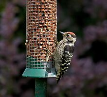 Lesser Spotted Woodpecker by Sue Robinson