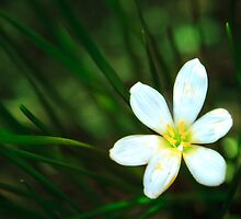 White Blue-Eyed Grass Flower by Peta Thames