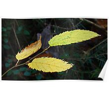 Saw Toothed Forest Leaves Poster