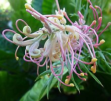 *Grevillea unfolding its beautiful Bloom* by EdsMum