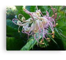 *Grevillea unfolding its beautiful Bloom* Canvas Print